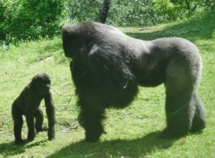 Head over to Pangani Forest Exploration Trail and get up close and personal with the Gorillas
